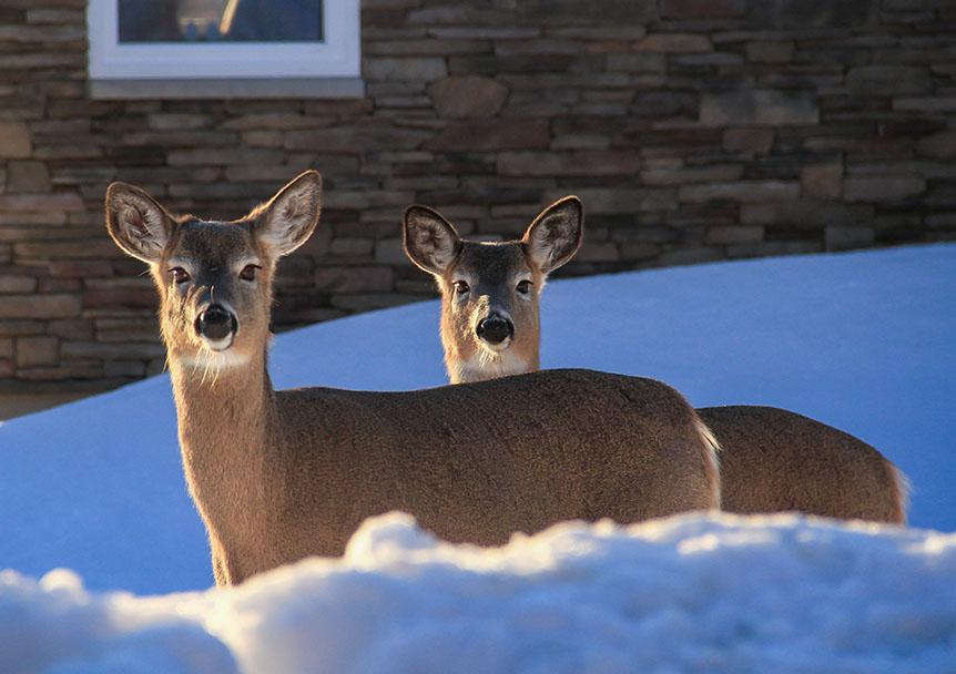 deer in backyard in winter